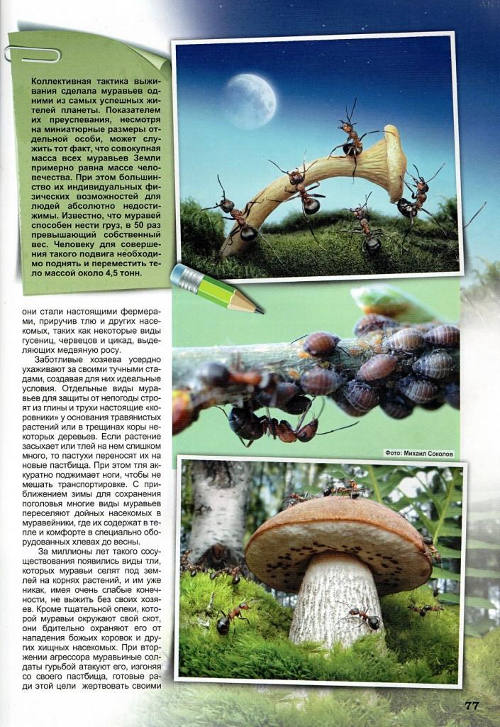 Фрагмент статьи Первые аграрии планеты с фотографией муравьиной фермы