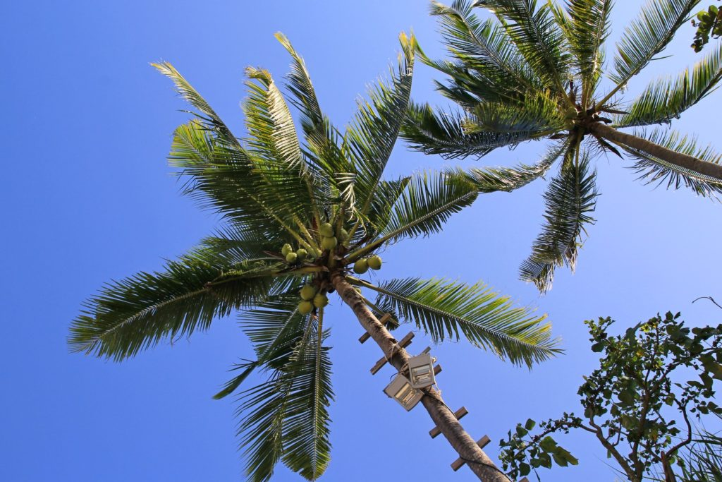 кокосовая пальма на пляже Ао Нанг