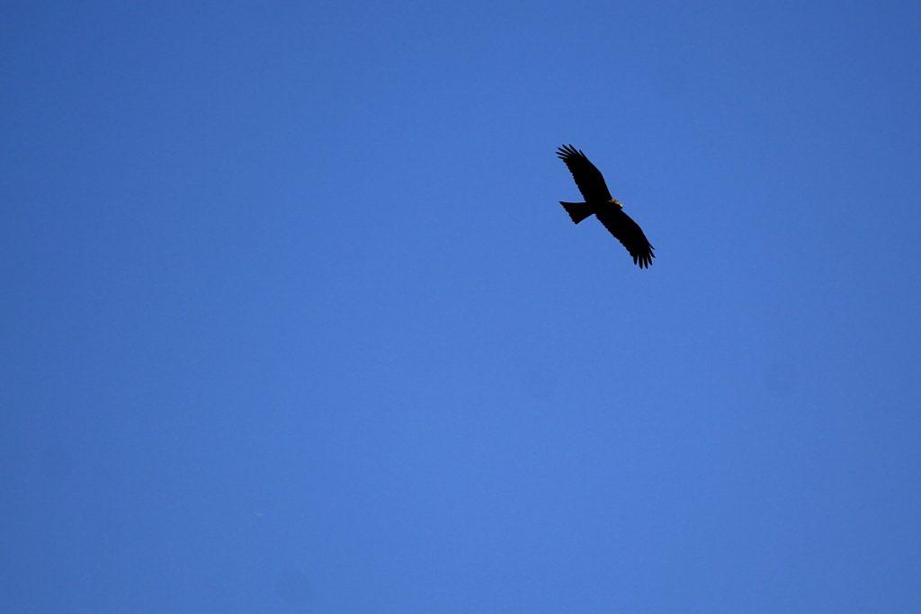 Силуэт чёрного коршуна (Milvus migrans) в небе