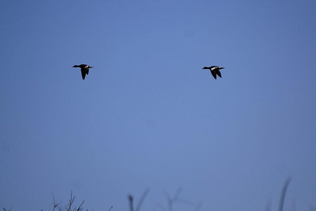 Две утки в полёте