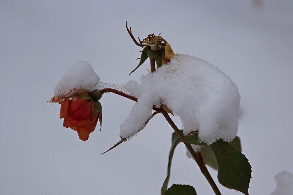 Цветок розы на кусте, засыпанный первым снегом