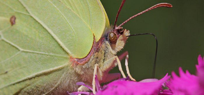 Крушинница, или лимонница обыкновенная (лат. Gonepteryx rhamni)