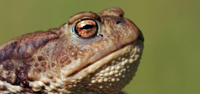 Жаба обыкновенная (серая жаба, коровница, лат. Bufo bufo)
