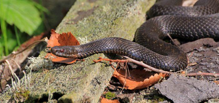 Обыкновенная гадюка (лат. Vipera berus)
