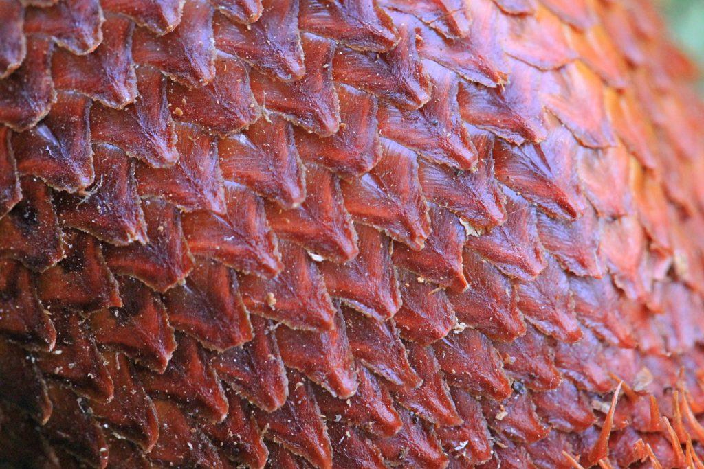 чешуя на кожуре змеиного фрукта салак