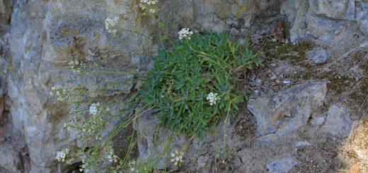 Шиверекия подольская (лат. Schivereckia podolica)