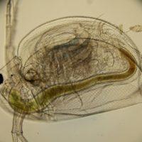 Большая дафния (лат. Daphnia magna), самка