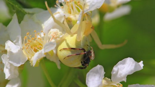 Цветочный паук Мизумена косолапая (лат. Misumena vatia), самец на брюшке самки