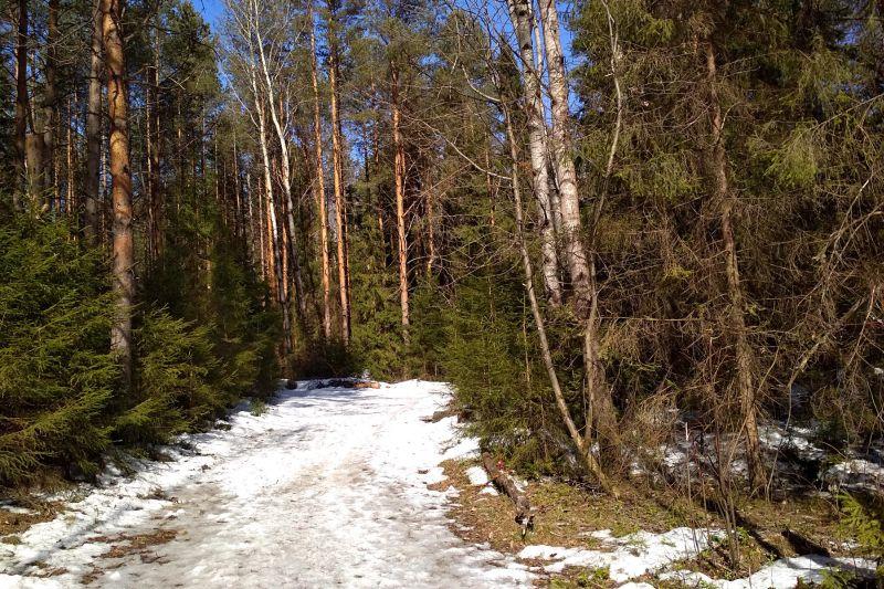 Залитая весенним солнцем лесная дорожка с проталинами в сосновом лесу в Порошино