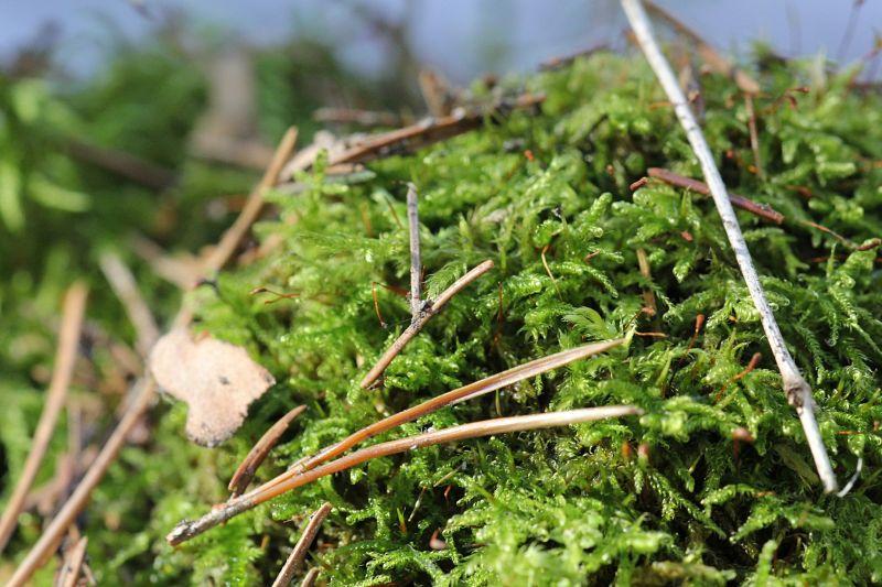Оттаявший мох на весеннем солнце, макропейзаж с сосновыми иголками