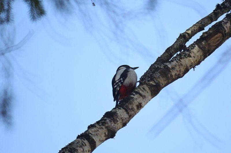 Большой пёстрый дятел (Dendrocopos major) с красным подхвостьем и черно-белой окраской на ветке очень высокого дерева