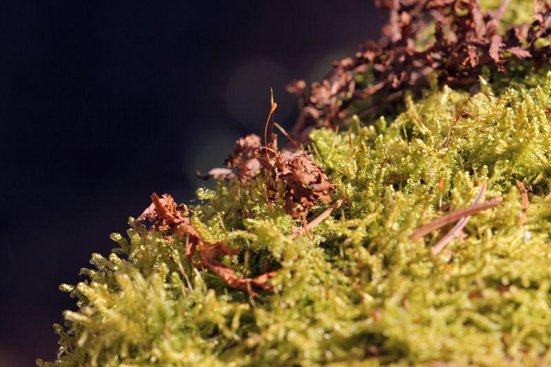 Вечнозелёный мох кукушкин лён
