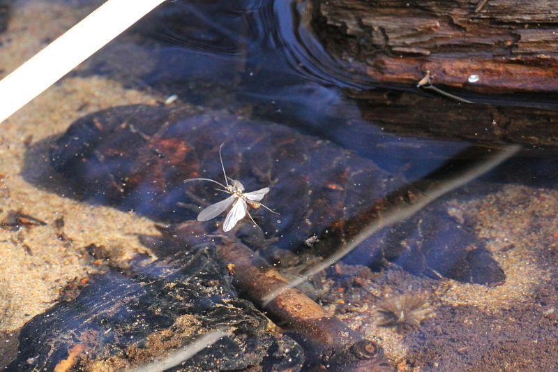 Насекомое Веснянка (Plecoptera) с расправленными крыльями над водой ручья