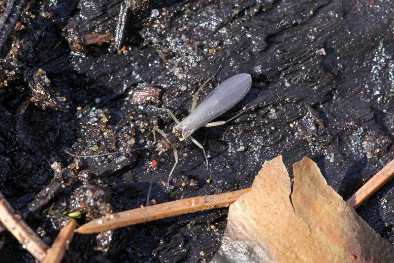 Насекомое Веснянка (Plecoptera) на мокрой древесине у ручья