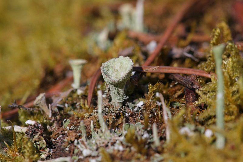 Инопланетный пейзаж: сцифовидные подеции (бокаловидные органы размножения) лишайника кладонии (Cladonia) среди зелёного мха весной
