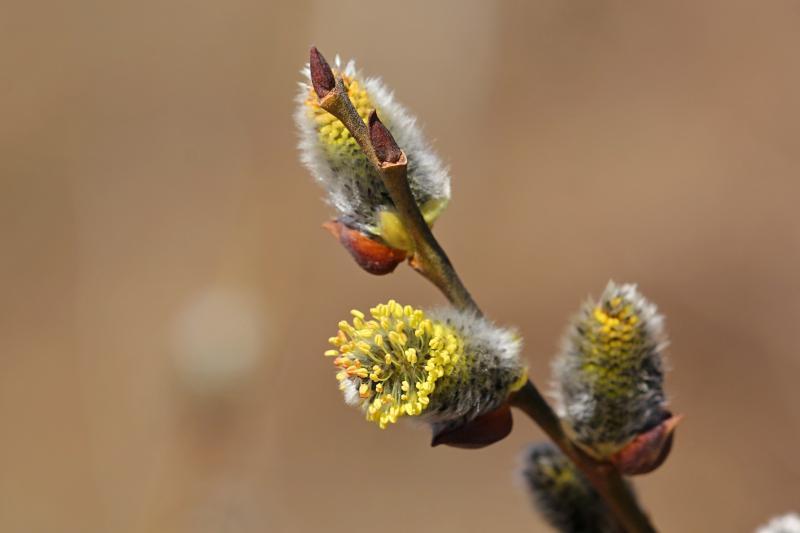 Цветок вербы