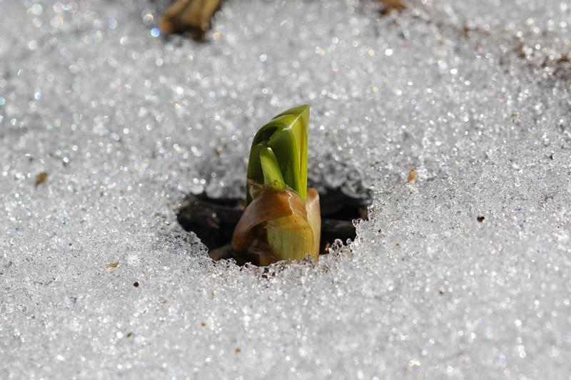 Зелёный росток пробивается через подтаявший весенний снег