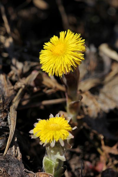 Цветы мать-и-мачехи