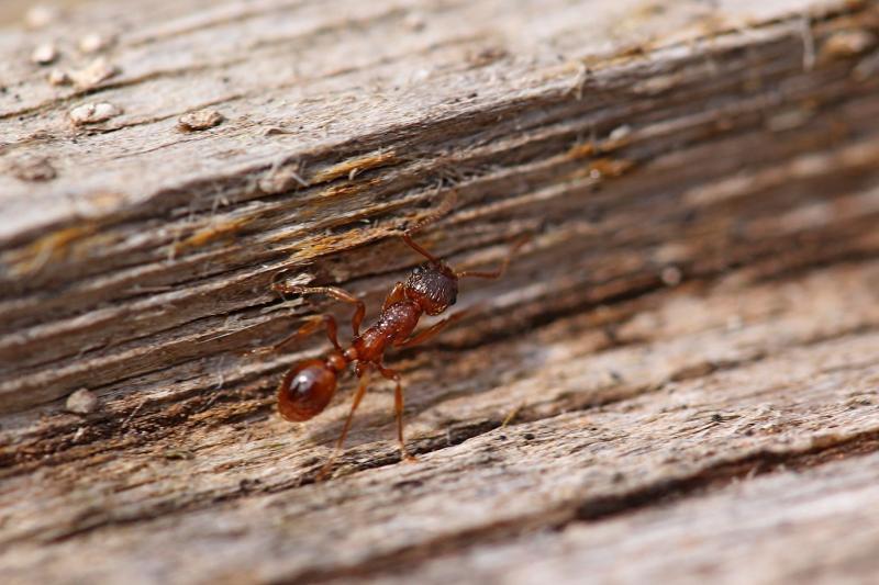 Маленький рыжий муравьишка, проснувшийся ранней весной