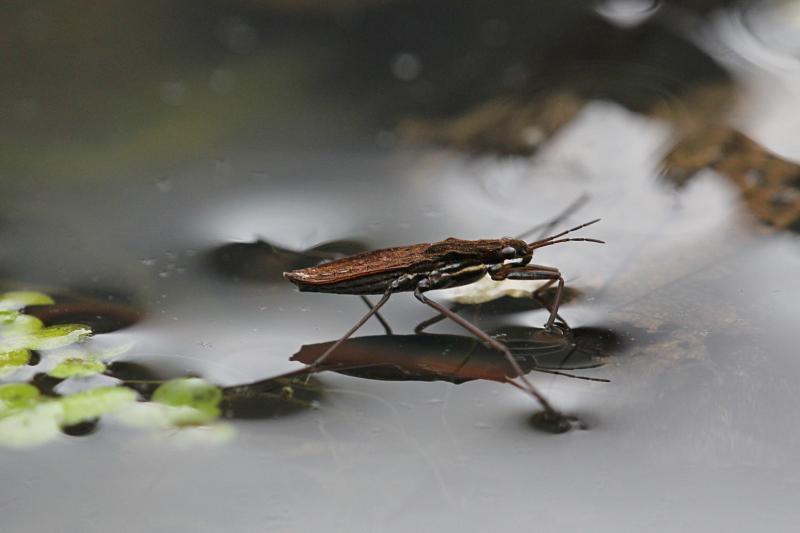 Клоп-водомерка на черной воде болотца