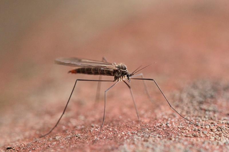 Комарик с длинными лапами