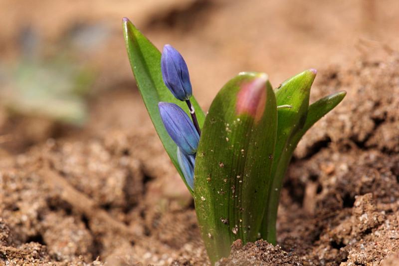 Проклюнувшиеся из земли ранней весной голубые цветочки