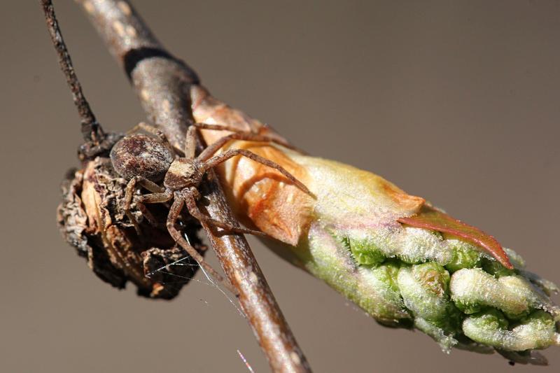 Замаскировавшийся на веточке восьмиглазый паук рядом с сочной зелёной распускающейся почкой