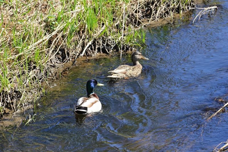 Селезень прикрывает утку от опасности на речке
