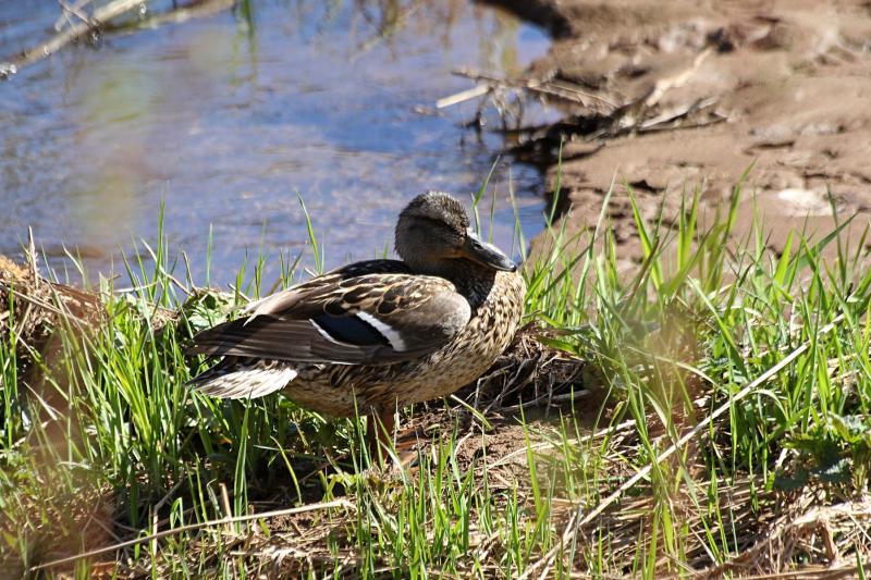 Утка чистит пёрышки на берегу речки Мостовицы