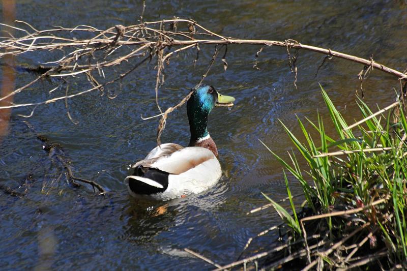Селезень плывёт по речке Мостовице и крякает