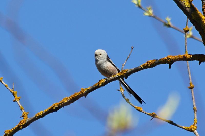 Длиннохвостая синица, или ополовник (лат. Aegithalos caudatus) на веточке дерева: светло-серое пушистое круглое тельце с черными полосами, короткий клюв и очень длинный хвост