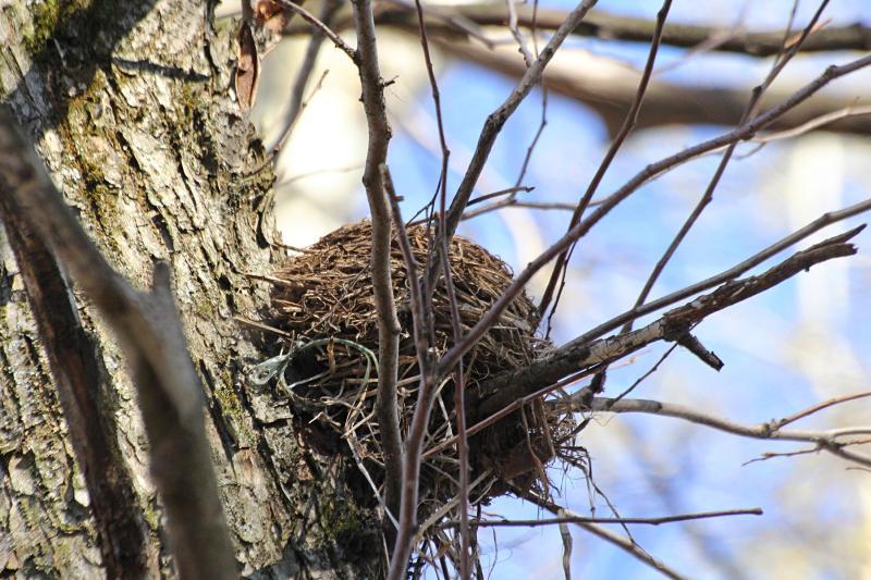 Гнездо дрозда на дереве: белобровика (Turdus iliacus) или рябинника (Turdus pilaris)