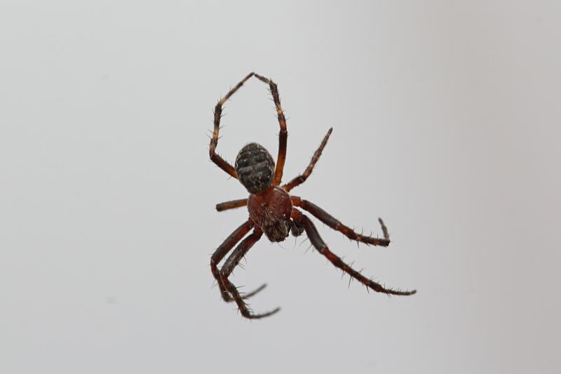 Паучий воздушный балет: паук, вися на паутинке в воздухе, изображает балетные па, лапки в третьей позиции