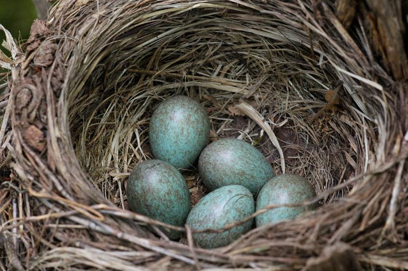голубовато-зелёные в крапинку яйца дрозда в гнезде. белобровика (Turdus iliacus) или рябинника (Turdus pilaris)