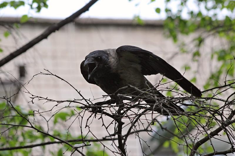 Ворона громко каркает и нападает на собаку, которая заинтересовалась воронёнком