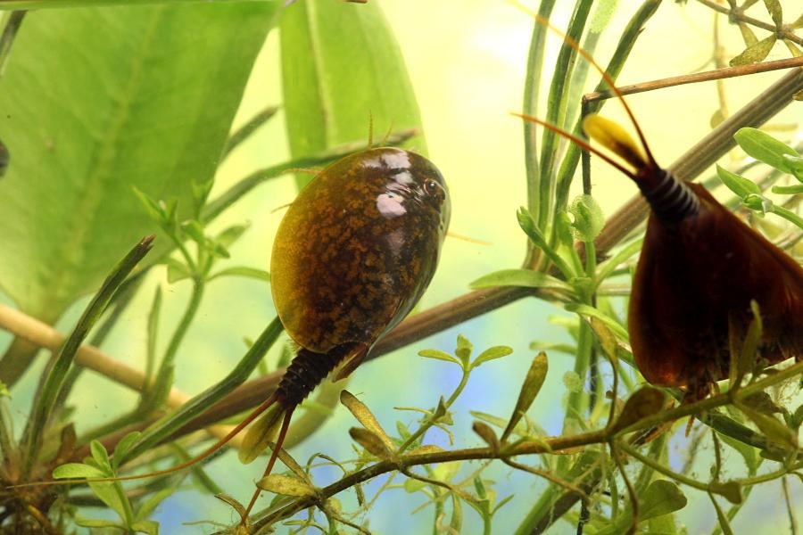 Щитень весенний (лат. Lepidurus apus) древнее подводное животное с тремя глазами, зелёным панцирем во всю спину, раздвоенным ховстом и множеством мелких лапок, размером с головастика, появляющееся весной в мелких лужах
