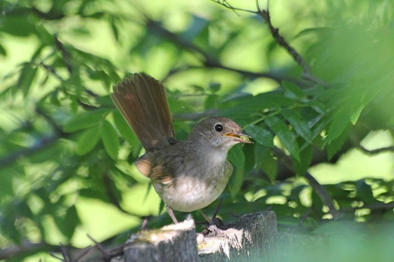 Обыкновенный (восточный) соловей (лат. Luscinia luscinia) рядом с гнездом, с добычей в клюве - поймал клопа. Небольшая птичка буровато-серого цвета со светлыми крапинками