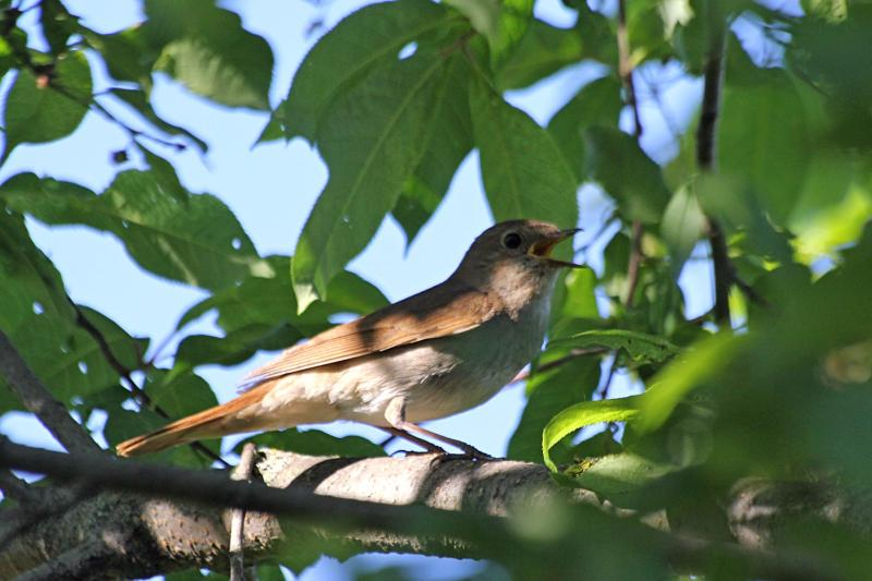 Обыкновенный (восточный) соловей (лат. Luscinia luscinia) издает тревожный крик рядом с гнездом. Небольшая птичка буровато-серого цвета со светлыми крапинками