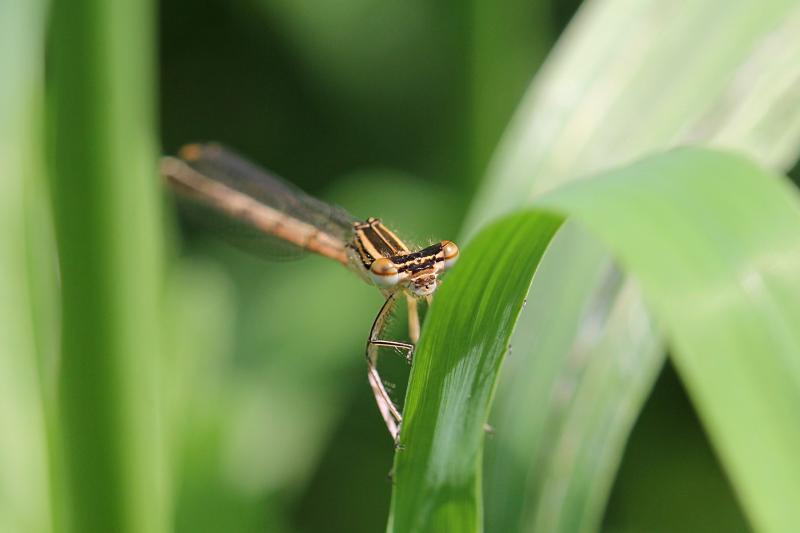 Тонкая желтовато-бурая самка стрекозы-стрелки (Coenagrionidae) с выпуклыми глазами, чёрным рисунком на теле и сложенными вдоль тела крыльями прячется за травинкой