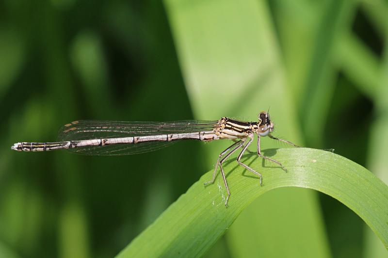 Тонкая желтовато-бурая самка стрекозы-стрелки (Coenagrionidae) с выпуклыми глазами, чёрным рисунком на теле и сложенными вдоль тела крыльями сидит на травинке