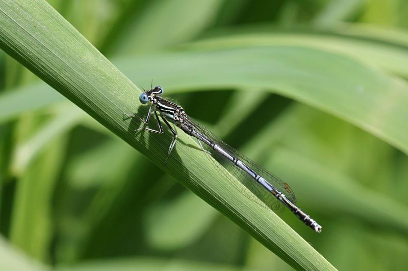 Тонкая голубая стрекоза-стрелка (Coenagrionidae) с выпуклыми глазами, чёрным рисунком на теле и сложенными вдоль тела крыльями сидит на травинке