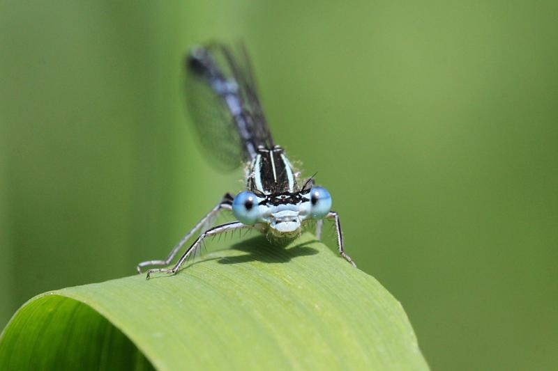 Портрет тонкой голубой стрекозы-стрелки (Coenagrionidae) с выпуклыми глазами, чёрным рисунком на теле и сложенными вдоль тела крыльями