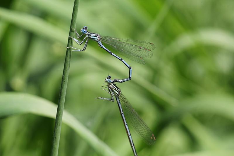 Копуляция (размножение) двух тонких голубых стрекоз-стрелок (Coenagrionidae): одна держит другую за шею специальными щупиками на конце брюшка