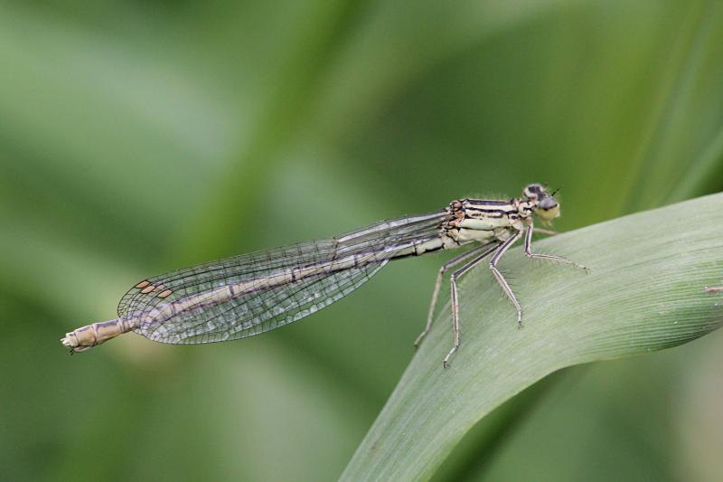 Тонкая зеленовато-серая самка стрекозы-стрелки (Coenagrionidae) с выпуклыми глазами, чёрным рисунком на теле и сложенными вдоль тела крыльями сидит на травинке
