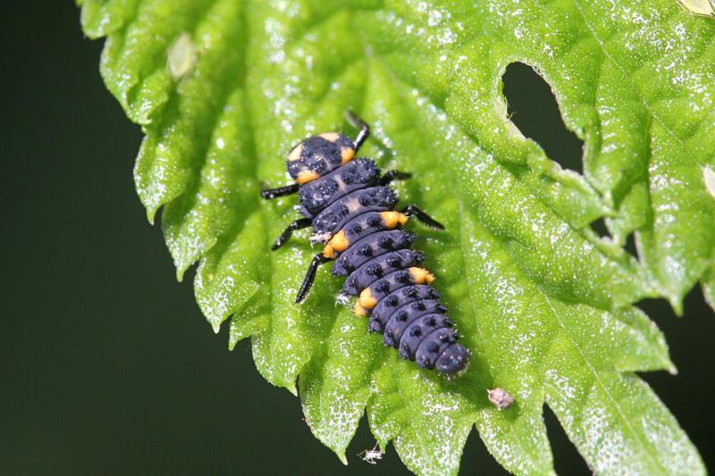 Серо-фиолетовая, с оранжевыми пятнышками, чёрными лапками и жесткими щетинками на теле личинка семиточечной божьей коровки (Coccinella septempunctata)