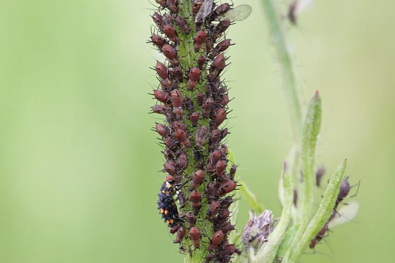 Тля пьёт сок из стебля растения, а в левом нижнем углу личинка семиточечной божьей коровки (Coccinella septempunctata) поедает тлю
