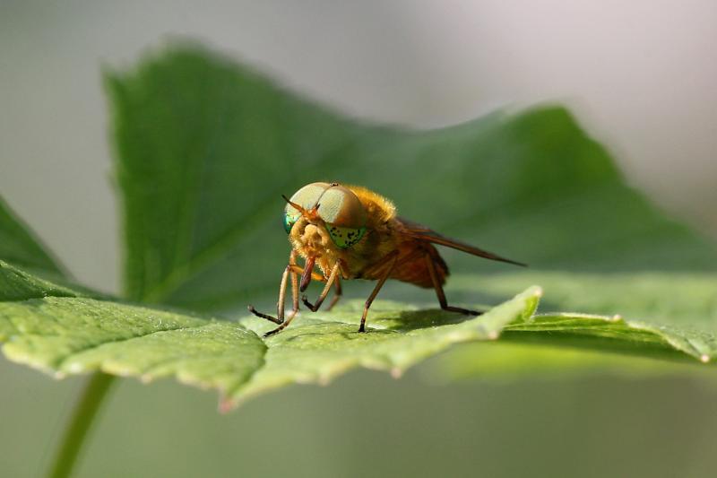 Самец слепня Сильвий золотистый (Silvius alpinus) - светлый паут жёлтоватого цвета с блестящими зелёными глазами с тёмными пятнами