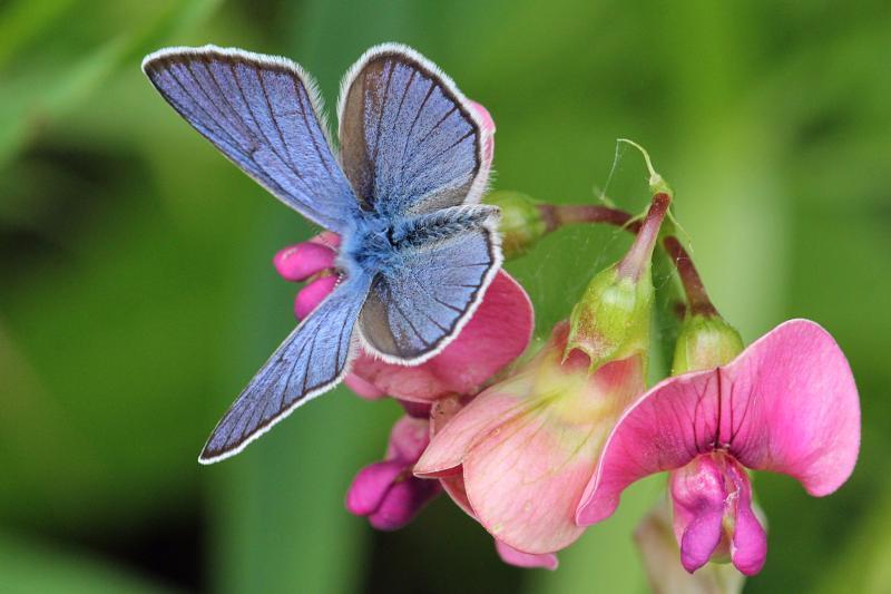Голубянка (лат. Cupidinidae) - бабочка с голубыми сверху крыльями, и серыми снизу с черными точками на розовом цветке чины (лат. Lathyrus) - дикого бобового растения