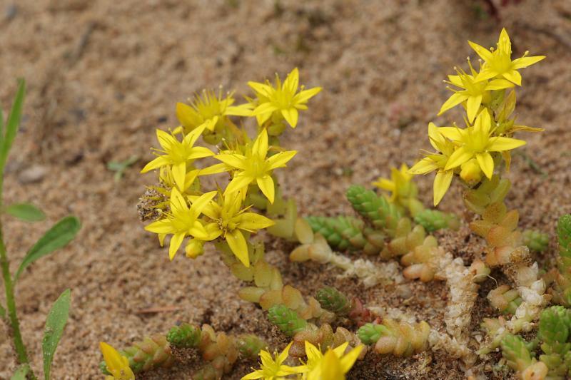 Очиток едкий (лат. Sedum acre) - жёлтые звёздчатые цветочки и листики-чешуйки на голом песке