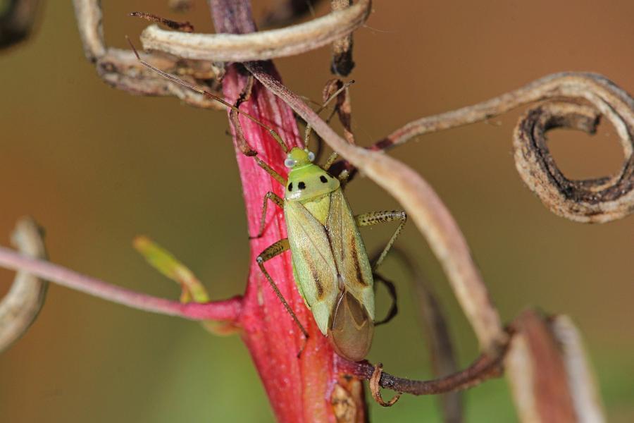 Клоп из семейства слепняков (Miridae) светло-зелёного цвета с хоботком, удлинёнными задними лапами, выпуклыми глазами, 4 точками на спинке и коричневыми крыльями